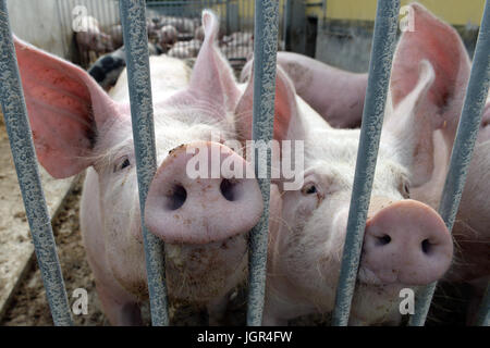 Lanke, Germany. 10th July, 2017. Two pigs can be seen on an ecological farm in Lanke, Germany, 10 July 2017. The - Stock Photo