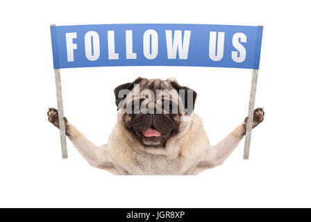 pug puppy dog holding up blue banner with text follow us for social media, isolated on white background - Stock Photo