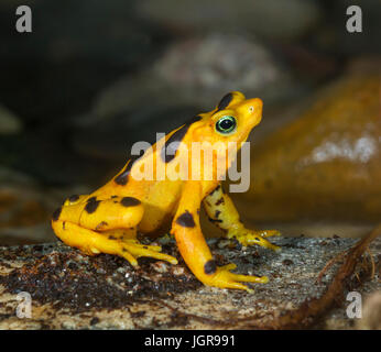 The critically endangered Panamanian Zetek's golden frog (Atelopus zeteki), captive (native to cloud forests of - Stock Photo