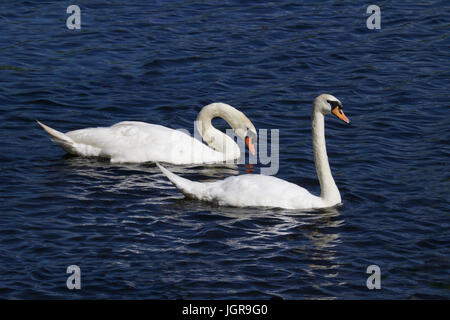 A pair of mute swans (Cygnus olor) swimming together on blue water. The larger male (cob) is behind the smaller - Stock Photo