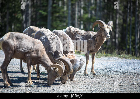 A small herd of Rocky Mountain Bighorn Sheep gather to graze on a warm summer afternoon. - Stock Photo