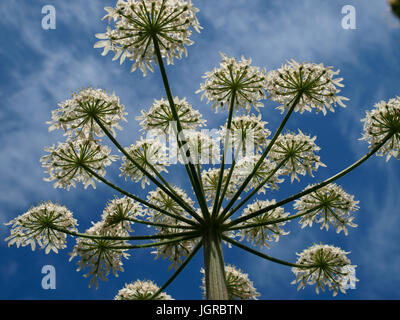 Anthriscus sylvestris, Cow Parsley from below, Cornwall, UK - Stock Photo