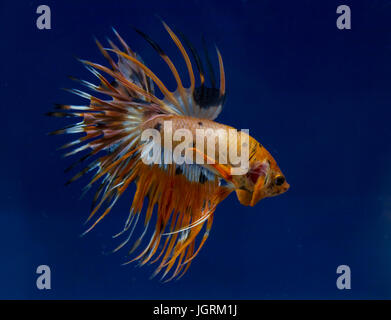 Crowntail siamese fighting fish in a blue background - Stock Photo