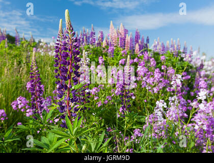 Lupins growing in a ditch along a farm field in rural America. - Stock Photo