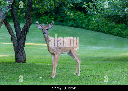 Eight point buck deer (odocoileus virginianus) in velvet standing on a fresh cut lawn - Stock Photo
