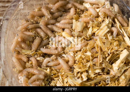 Creeping larvae of the white fly are used as bait on fishing - Stock Photo