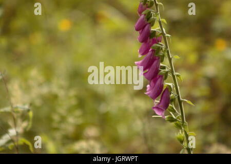 Foxglove flowers outside with sunlight at spring - Stock Photo
