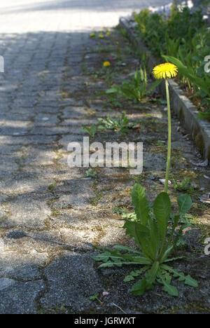 Dandelion growing between tiles in the street - Stock Photo