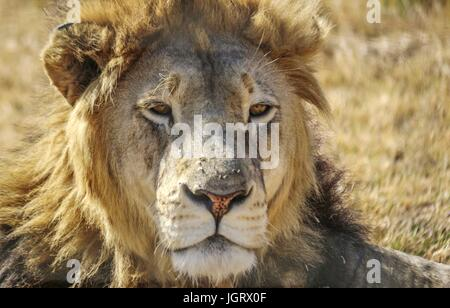 Closeup of an isolated male lions head laying down outside with sunlight - Stock Photo