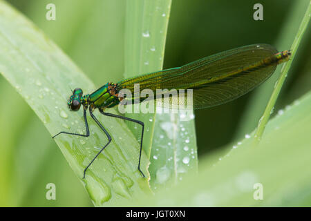 Banded agrion or Banded demoiselle, Calopteryx splendens, female, damselfly, Norfolk Broads, June. Resting after - Stock Photo