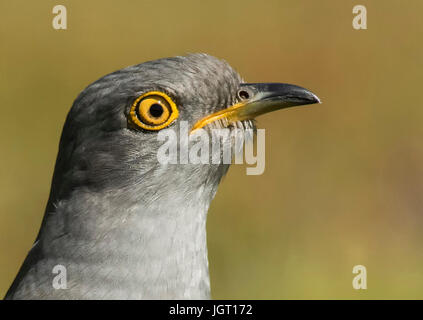 Close Up of Adult Male Cuckoo - Stock Photo