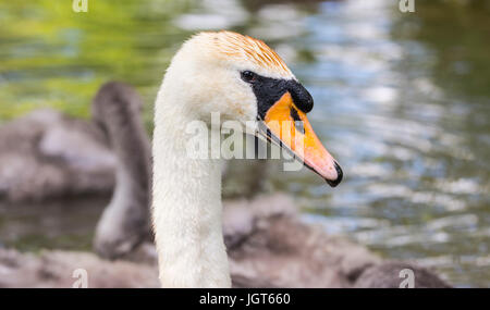 Mute Swan (Cygnus olor) neck and head. - Stock Photo