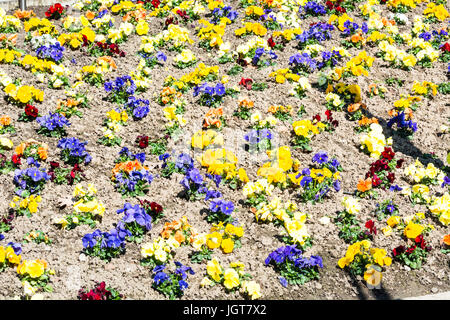 Mixed Pansies in the flowerbed - Stock Photo