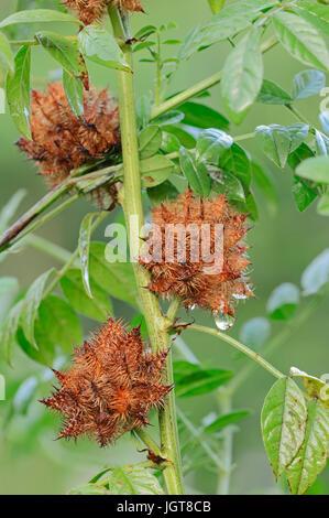 Common Liquorice / (Glycyrrhiza glabra, Glycyrrhiza glandulifera, Glycyrrhiza officinalis, Glycyrrhiza hirsuta, - Stock Photo