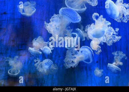 Jelly fishes - Stock Photo