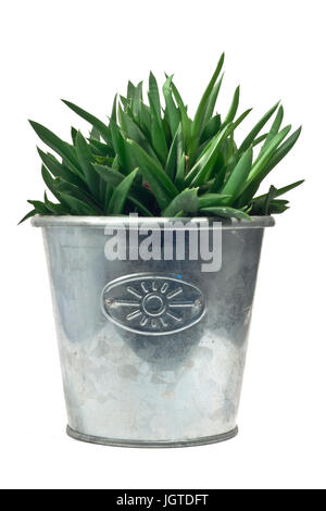 Cactus in metal pot on white background