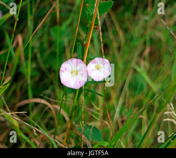 A pair of flowers of Field Bindweed, Convolvulus arvensis. - Stock Photo