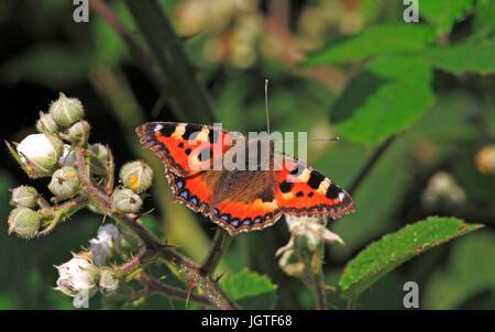 A Small Tortoiseshell butterfly, Aglais urticae, feeding on bramble. - Stock Photo