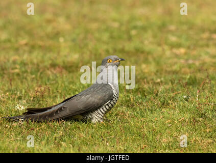 Adult Male Cuckoo perched on the ground - Stock Photo