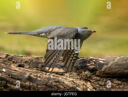 Adult Male Cuckoo in Flight - Stock Photo