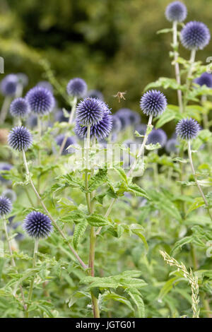 Echinops bannaticus 'Taplow Blue'. Globe thistle flower - Stock Photo