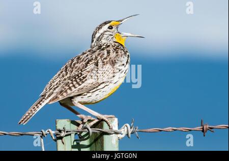 Meadowlark, Spring song, breeding territory, Montana - Stock Photo