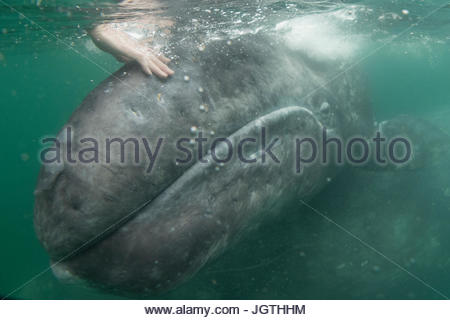 A person touches a California gray whale, Eschrichtius robustus, in San Iganico Lagoon. - Stock Photo