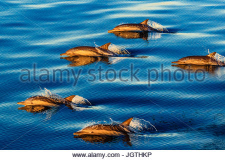Long-beaked common dolphins, Delphinus capensis, swimming in a large pod at sunrise. - Stock Photo