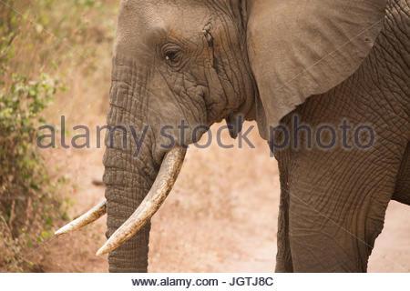 An African elephant in Lake Manyara National Park. - Stock Photo
