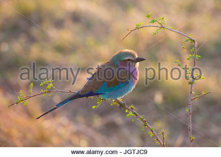 A lilac breasted roller bird in Serengeti National Park. - Stock Photo