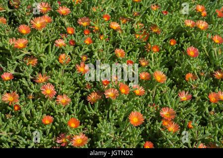 Malephora, Ice Plant (Malephora purpureo-crocea, Malephora purpureocrocea), flowering, Playa Quemada, Lanzarote - Stock Photo