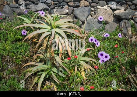 Aloe vera plant (Aloe vera), Mallow leaved bindweed (Convolvulus althaeoides) and Malephora, Ice Plant, Playa Quemada, - Stock Photo