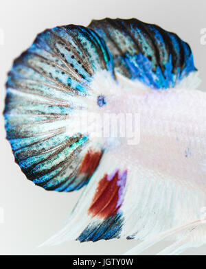 Betta splendens fish tail fins close-up - Stock Photo