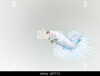 Crown tail male betta splendens, grizzle colour - Stock Photo
