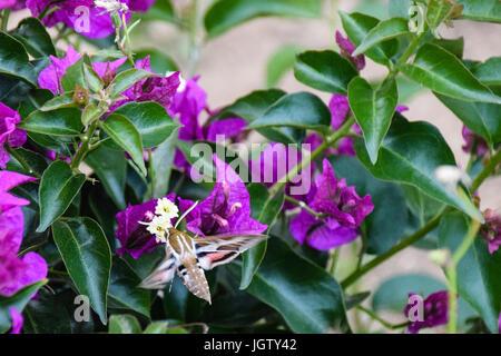 Elephant Hawk Moth: Deilephila elpenor collecting nectar from purple flowers in Porto Santo Island, Madeira, Portugal - Stock Photo