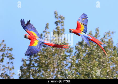 Male and female South American Scarlet macaw (Ara macao) in flight. - Stock Photo