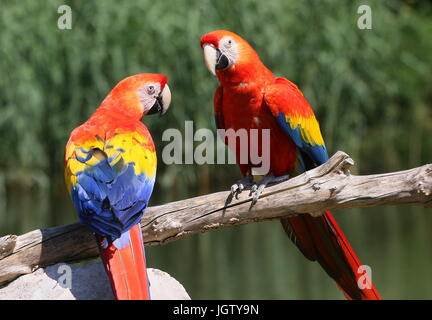 South American Scarlet macaw (Ara macao) - Stock Photo