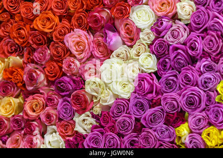Closeup view of beautiful wall made of red, pink, violet, purple, white and yellow rose flowers. Valentines day - Stock Photo