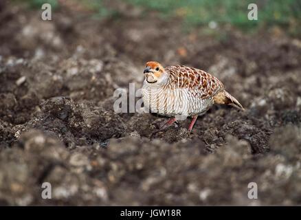 Grey Francolin or Gray Francolin, (Francolinus pondicerianus), Keoladeo Ghana National Park, Bharatpur, Rajasthan, - Stock Photo