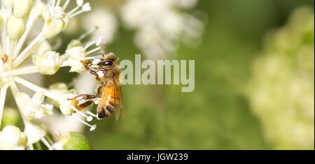 Bee collecting pollen on White flower with blurred green background - Stock Photo