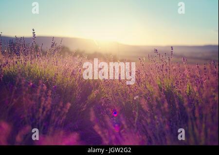 Lavender field over sunser sky. Beautiful image of lavender field over summer sunset landscape. Lavender flower - Stock Photo