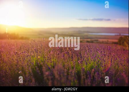 Beautiful image of lavender field Summer sunset. - Stock Photo