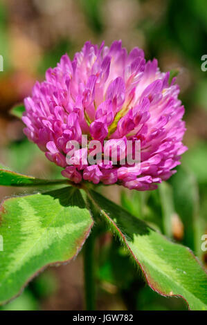Red Clover in bloom - Stock Photo
