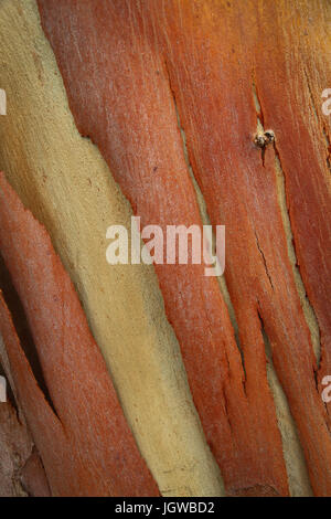 Close-up of strips of brownish-red bark peeling from the surface of the trunk of a eucalyptus tree, revealing a - Stock Photo