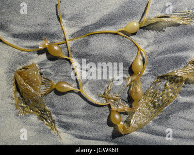 Pieces of yellow kelp with fronds and round bladders washed up on a sandy beach and deposited in a circular pattern - Stock Photo
