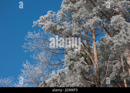 Bright winter color scene of  trees and hoar frost taken in Austria on a sunny day with a blue sky - Stock Photo