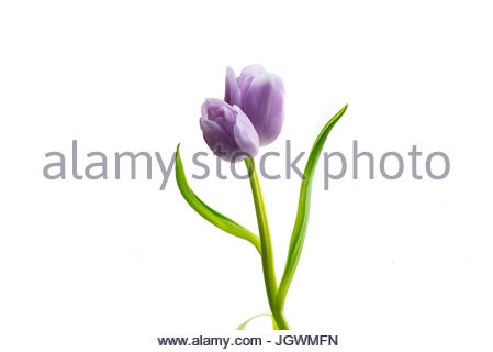 Tulip twin on one stem purple against white background - Stock Photo