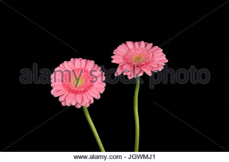 Pink Gerberas against black background - Stock Photo