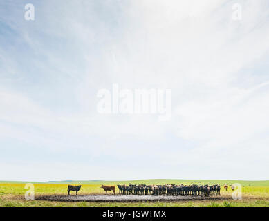 Herd of cows at watering hole in field landscape - Stock Photo