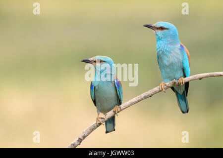 Two European Roller (Coracias garrulus) adult, perching on a branch, Hortobagy national park, Hungary. - Stock Photo